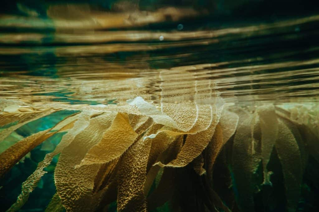 Algas Comestibles